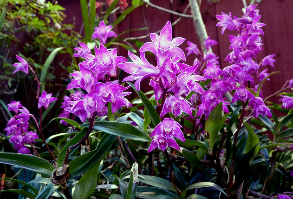 Grow And Care Dendrobium Kingianum Thelychiton Kingianus Captain