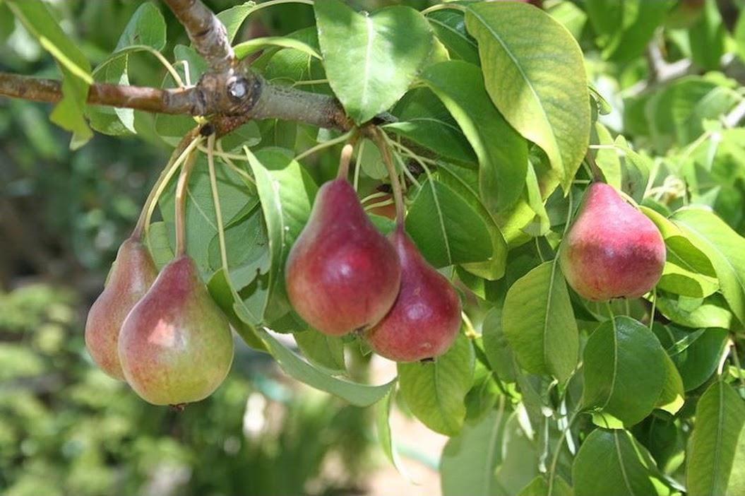 Amefurashi Benih Bibit Buah Pir Import Good Fruit MAke Your Dreamy Pir Garden Serang