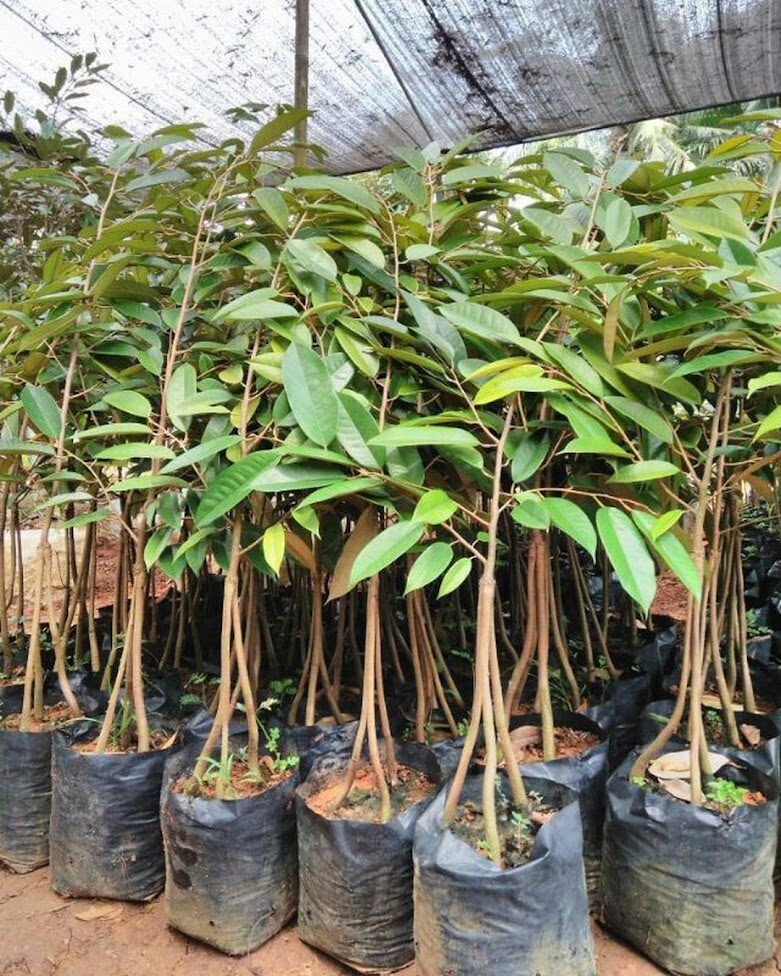 Bibit Durian Musangking Kaki 3 Bima