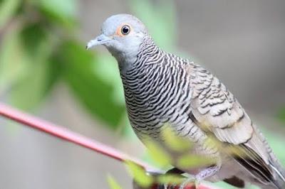 Harga Sangkar Burung Perkutut 2020 Terbaru Saat Ini