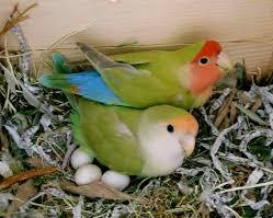Cara Menernak Lovebird Dan Merawat Anak Lovebird Baru Menetas