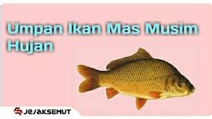 Umpan Ikan Mas Musim Hujan [ Resep Rahasia | Teruji ]