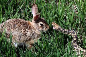 kelinci hewan teritorial