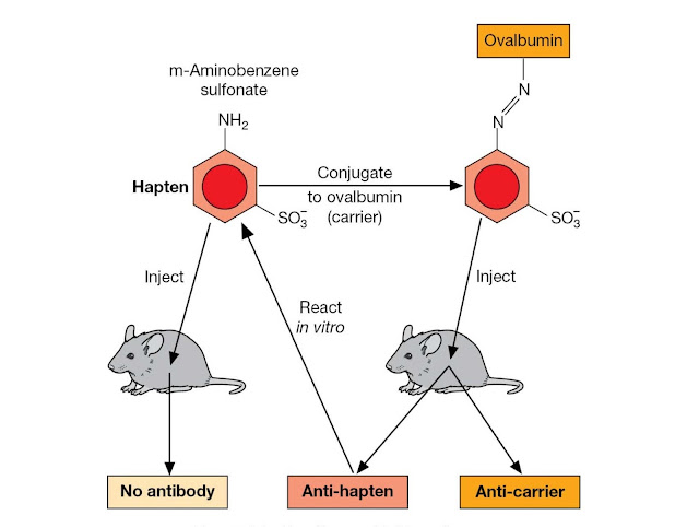 Antigenicity and immunogenicity