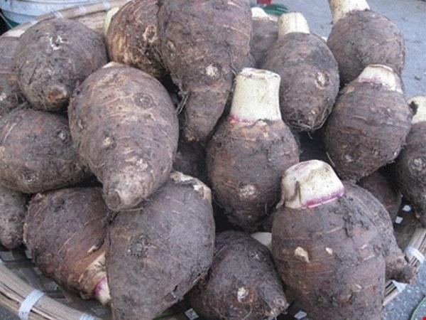 Cách trồng khoai môn & Kỹ thuật trồng khoai sọ