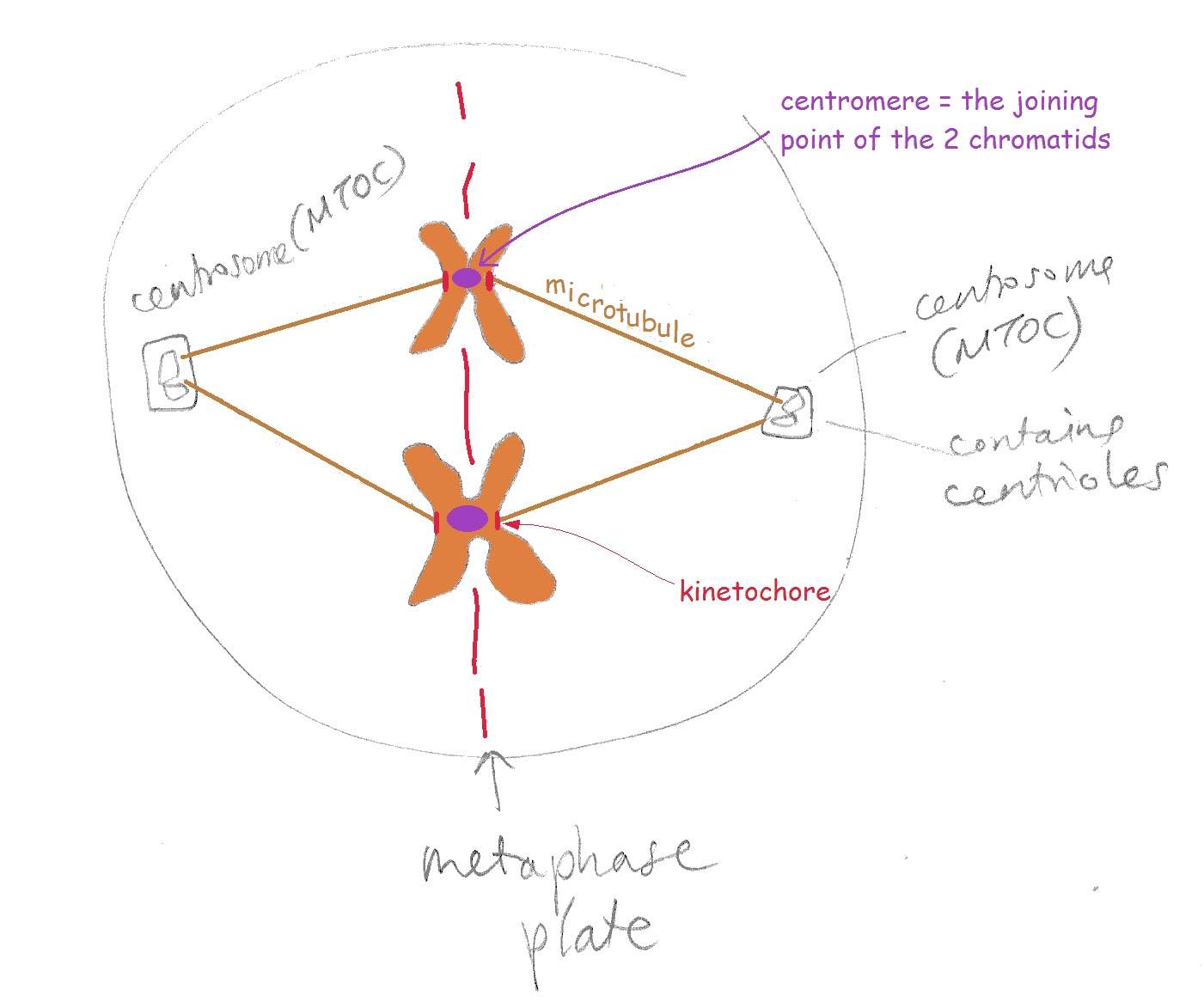 jen wilson milngavie tutors biology and chemistry tuition helps you to learn this diagram is just a sketch not meant to be an accurate representation of what these things necessarily look like its just to