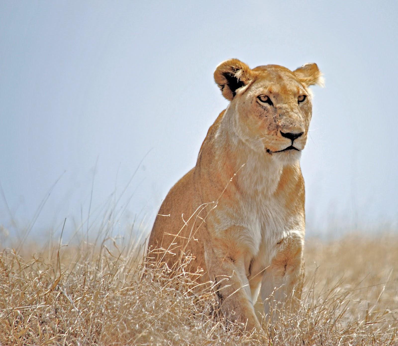 Lioness on the hunt,lion images