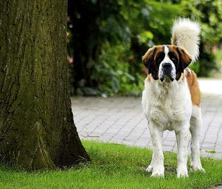كلب سانت برنارد