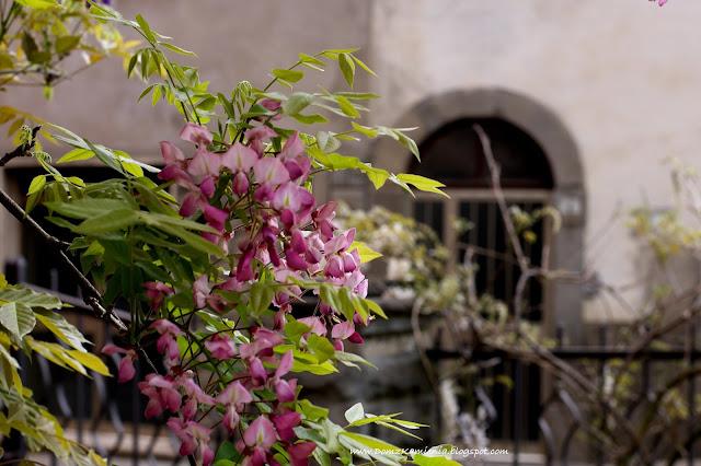 Glicynia, wisteria