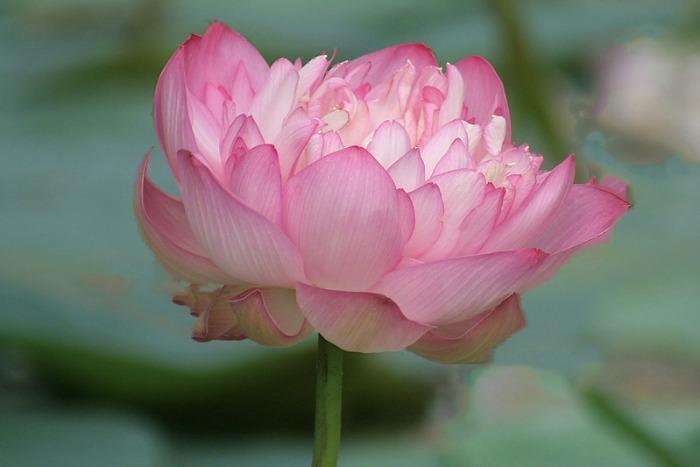Flor de lotus indio