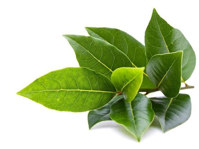 khasiat daun salam atasi batu ginjal