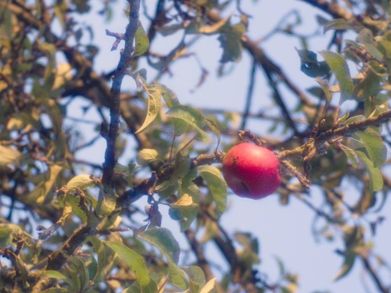 Ein Apfel hat das Hagelunwetter überlebt