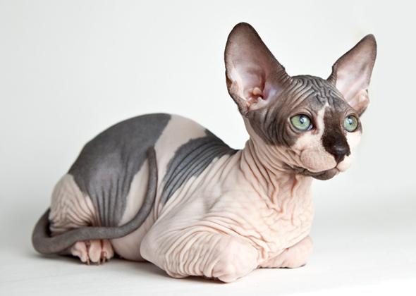 The Sphynx Cat adalah kucing paling mahal di dunia