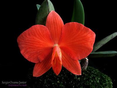Orquídea vermelha Sophronitis Arizona