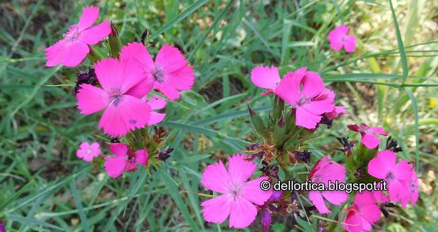 dictamus albus dittamo rosa lavanda tarassaco ortica erbe officinali confettura di rosa gelatina di tarassaco oleoliti sali aromatizzati tisane frutti di bosco
