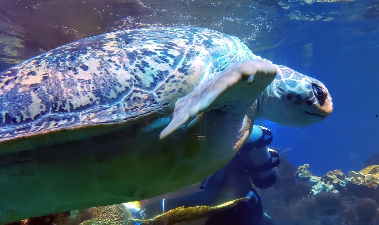 Big Turtle At The Aquarium, Boston