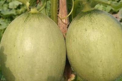Cara Menanam Melon Di Musim Kemarau Supaya Berbuah Besar Dan Manis