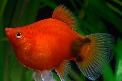 ikan platis atau platy untuk hias di aquarium rumah