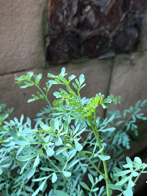 Southwark Cathedral Herb garden Ruta graveolens