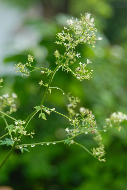 White meadow rue (Thalictrum pubescens) in our Back Woodland with raindrops