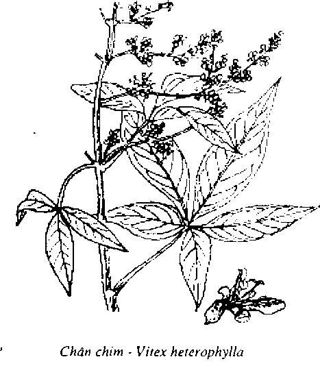 Hình vẽ Cây Ngũ Gia Bì chân chim -  Acanthopanax aculeatus - Nguyên liệu làm thuốc Chữa Bệnh Tiêu Hóa
