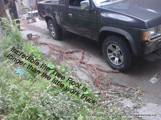 Incredible the Invasive Tree Root is longer than the  Little Work Truck!