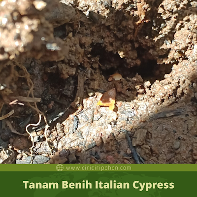 Tanam Benih Italian Cypress