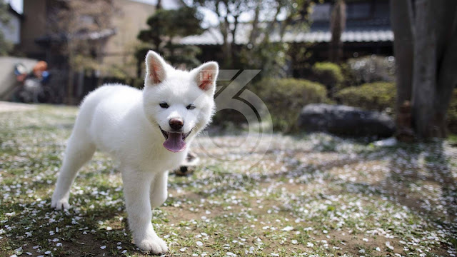 The Akita, the Japanese dog who conquered foreign hearts