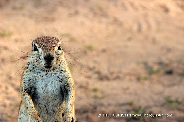Ground squirrel standing on its hind legs.