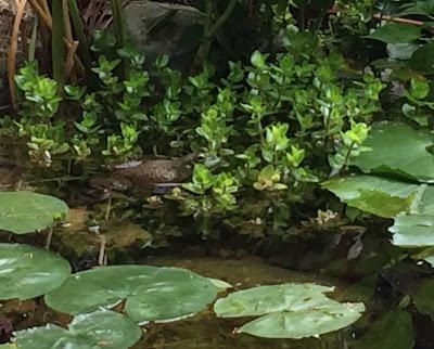 bullfrog in pond plants