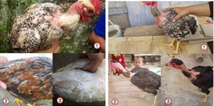 Corak Bulu Ayam Legund