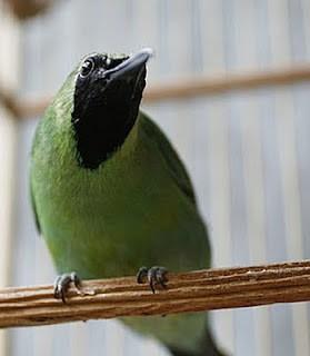 Menangani Burung Cucak Ijo Mencret [Tips] | gokicau.com