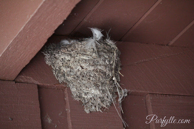 Nest of the the 'Welcome Swallow'.
