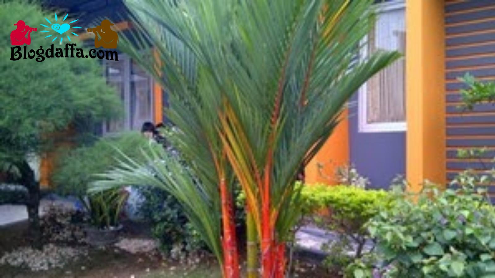Tanaman hias batang palem merah