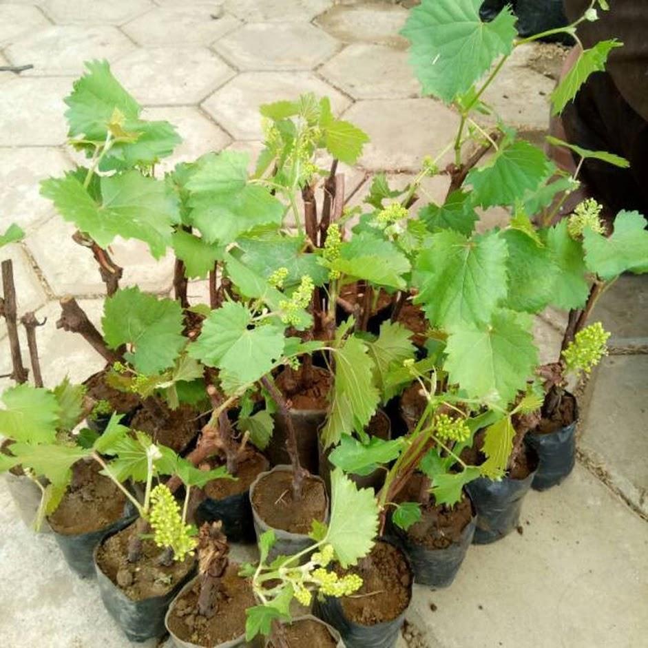 bibit anggur Berkualitas Bangka Belitung