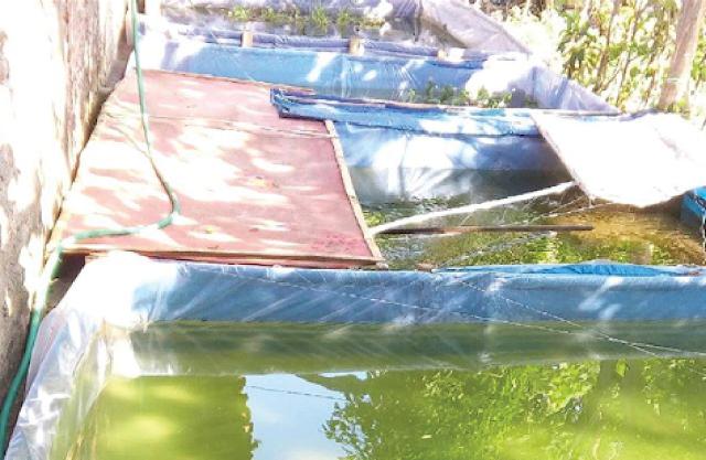Tempat ternak ikan gabus lokal