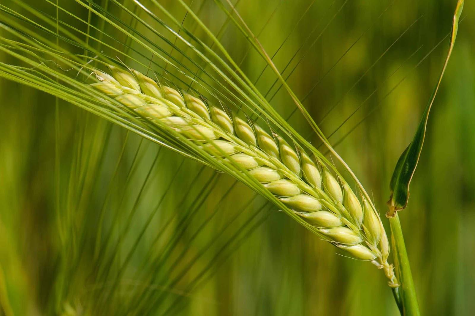 Manfaat Barley Untuk Kesehatan dan Kecantikan yang Luar Biasa