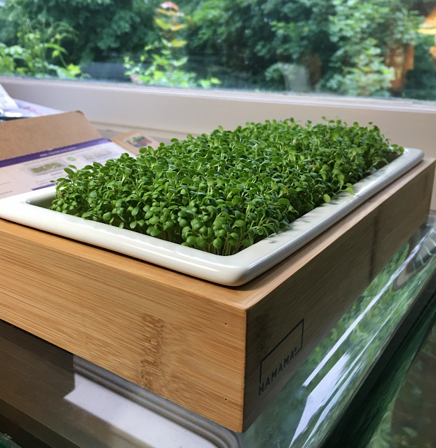 Photo of microgreens growing in white ceramic Hamama grow tray with bamboo frame