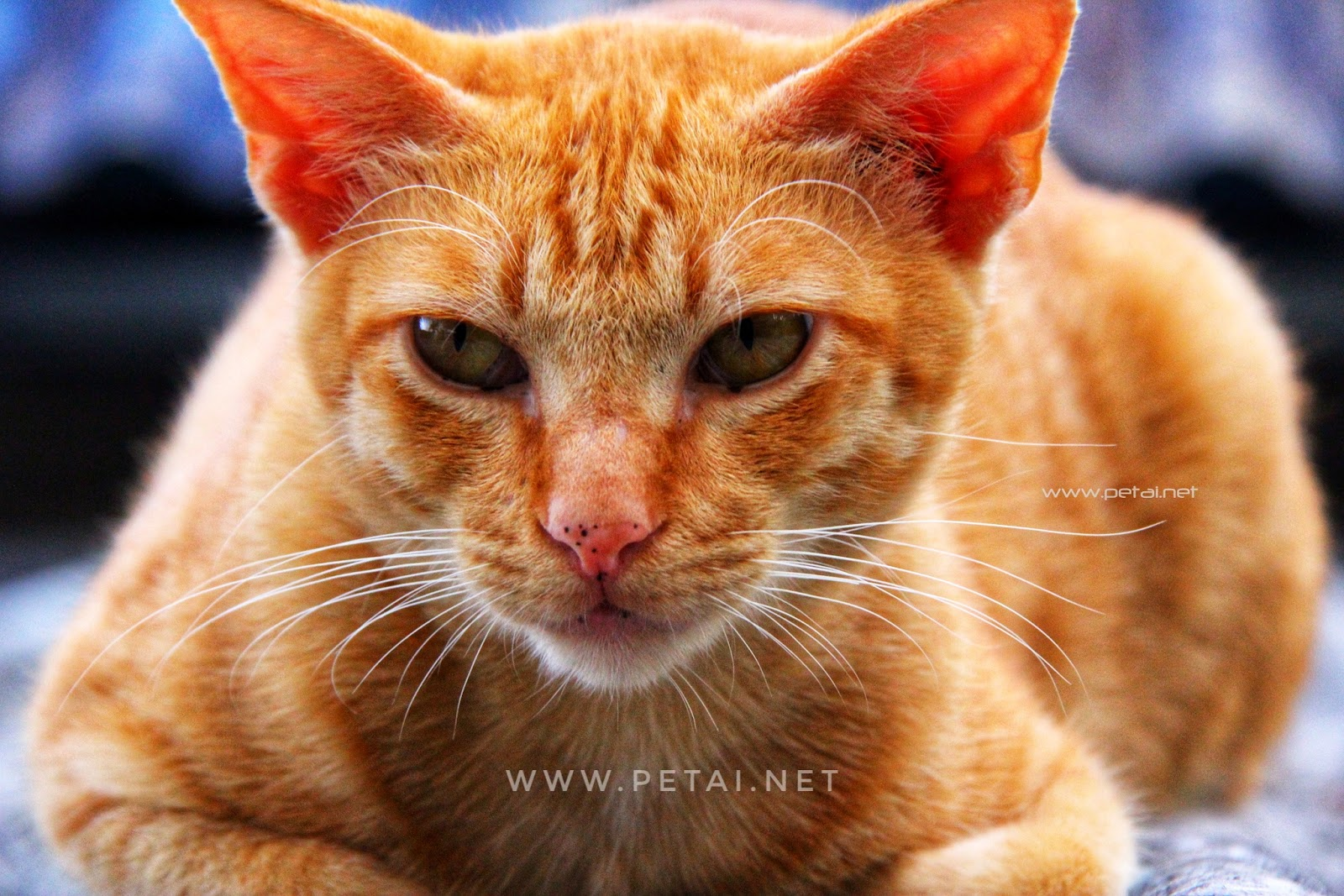 Mengenang Kucing Kesayangan Kami Oyen 5