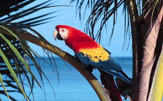 Macaw merah