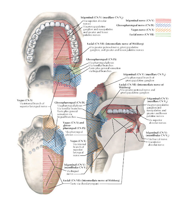 Afferent Innervation of Oral Cavity and Pharynx Anatomy