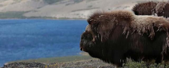 en Groenlandia el buey almizclero