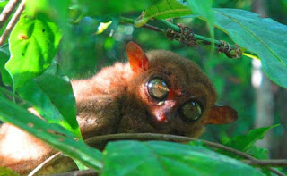 Popular and smallest primate in the whole world philippine tarsier found in  bohol philippines 2018