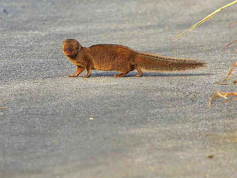 Essay on mongoose