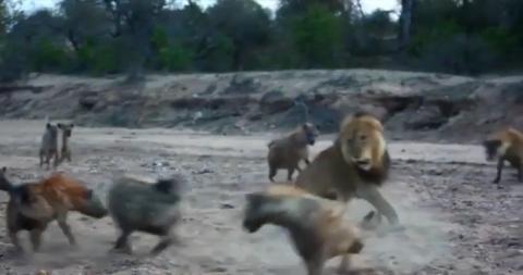 Sư tử đực già yếu một mình đối đầu cả bầy linh cẩu