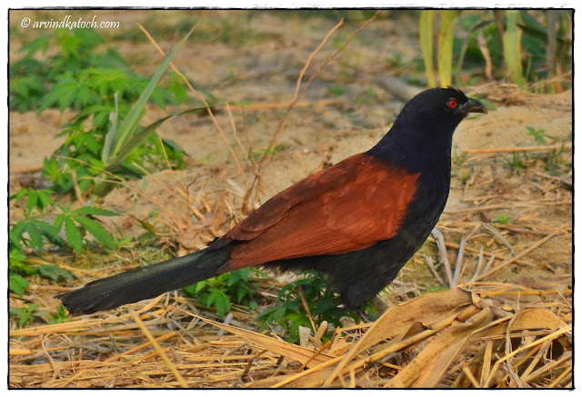 Greater Coucal, Walking, Crow Pheasant,