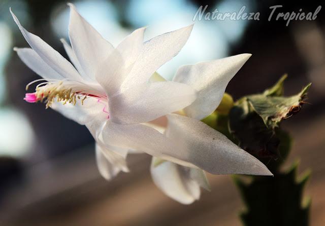 Variedad blanca de la flor del Cactus de Navidad, género Schlumbergera