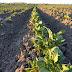 Devir campo de patacas, rizoma por Ánxela Lema París