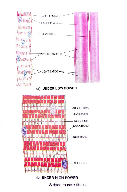 structure of animal tissues
