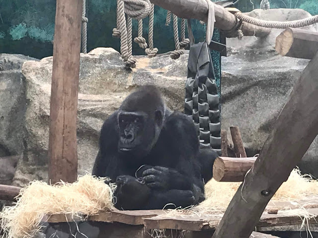 Zoo de beauval gorille